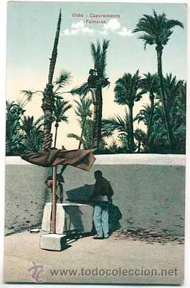 ALICANTE ELCHE. CAPURUCHANDO PALMERAS. ED. LAMPISTERIA DE ANTON. SIN CIRCULAR (Postales - España - Comunidad Valenciana Antigua (hasta 1939))