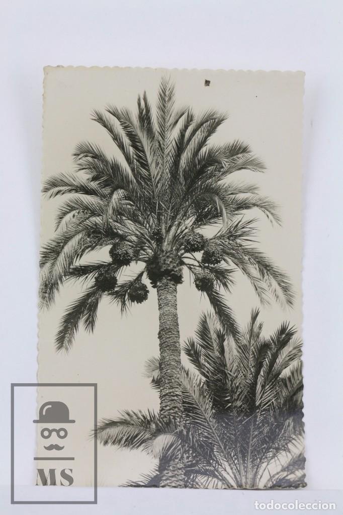 ANTIGUA POSTAL FOTOGRAFICA -ELCHE, HUERTO DEL CURA, EJEMPLAR DE PALMERA -EDICIONES GARCÍA GARRABELLA (Postales - España - Comunidad Valenciana Moderna (desde 1940))