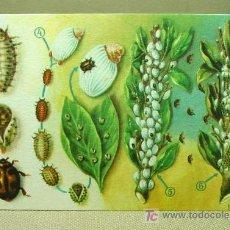 Postales: RARA POSTAL, DIRECCION GENERAL DE AGRICULTURA, NOVIUS CARDINALIS, COCHINILLA ACANALADA, VILADOT. Lote 19586346