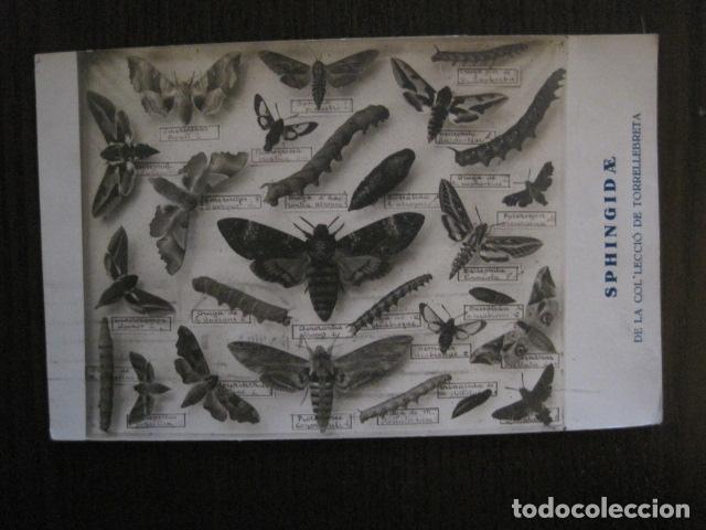 POSTAL ANTIGUA - INSECTOS - SPHINGID AE - COL·LECIO DE TORRELLEBRETA -VER FOTOS - (52.260) (Postales - Postales Temáticas - Especiales)