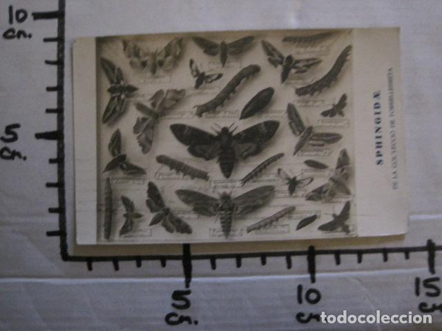 Postales: POSTAL ANTIGUA - INSECTOS - SPHINGID AE - COL·LECIO DE TORRELLEBRETA -VER FOTOS - (52.260) - Foto 3 - 115513387