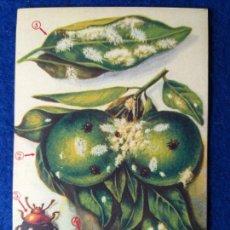 Postales: POSTAL. DIRECCION GENERAL DE AGRICULTURA. PLAGAS. EL CRYPTOLAEMUS MONTROUZIERI. Lote 214461228