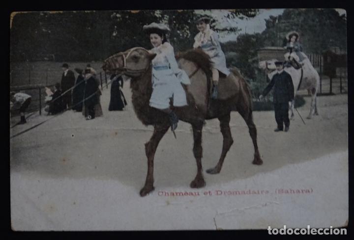 CAMELLOS Y DROMEDARIOS EN EL SAHARA , POSTAL CIRCULADA DEL AÑO 1904 (Postales - Postales Temáticas - Étnicas)