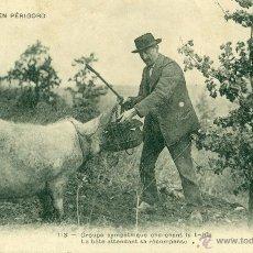 Cartes Postales: PERIGORD. UN CERDO BUSCANDO TRUFAS. CIRCULADA EN 1904.. Lote 44834975