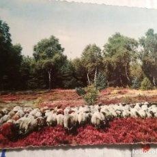 Postales: POSTAL FOTOGRAFIA REBAÑO DE OVEJAS. Lote 117896307