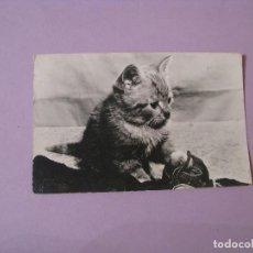 Postales: POSTAL DE HOLANDA. PAISES BAJOS. FOTO DE UN GATITO. CIRCULADA. 1962.. Lote 118953419
