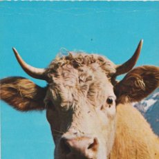 Postales: SUIZA, VACA DEL SIMMENTAL - ROWESA AG 755-28 - S/C - (14,5X9). Lote 206277173