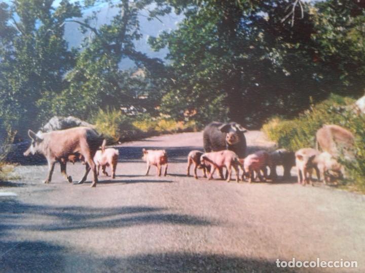 Postales: POSTAL CARTE POSTALE FRANCIA FRANCE CORSE CÓRCEGA CERDOS COCHINOS PIGS PORKS PORCS BONS FIGATELLI... - Foto 2 - 288544088