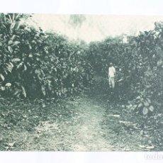 Postales: GUINEA CONTINENTAL- EXPOSICION IBERO-AMERICANA, SEVILLA-1929- UN CAFETAL.. Lote 113257199