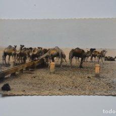 Postales: POSTAL ANTIGUA. SAHARA ESPAÑOL. CAMELLOS ABREVANDO. EDITA A. DE PURRAS.. Lote 119935775