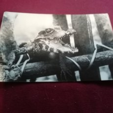 Cartes Postales: GUINEA ESPAÑOLA. CAIMÁN. Lote 173065923