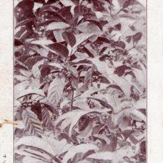 Postales: POSTAL GUINEA ESPAÑOLA (FERNANDO PÓO) ARBOL-CAFÉ, CON FRUTO, HACIENDA MONTSERRAT - SERIE A. NÚM. 4. Lote 211643629