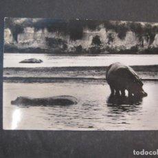 Postales: GUINEA ESPAÑOLA-HIPOPOTAMO-FOTO CALIFORNIA BATA-19-POSTAL ANTIGUA-(77.593). Lote 242353575
