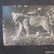 Postales: SANTA ISABEL-FERNANDO POO-CRIA DE LEOPARDO-EDICIONES FOTO AUGUSTO-POSTAL ANTIGUA-(77.599). Lote 242355875