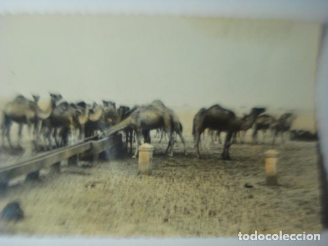 SAHARA RARA POSTAL DE LA COLONIA DE ESPAÑA EN AFRICA - CAMELLOS ABREVANDO AÑOS 1950 (Postales - Postales Temáticas - Ex Colonias y Protectorado Español)