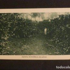 Postales: GUINEA ESPAÑOLA UN CAFETAL. Lote 275842898