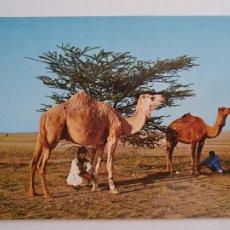 Cartes Postales: SAHARA ESPAÑOL -BEDUINOS - CUIDANDO LOS CAMELLOS - LAXC - P58085. Lote 278412678