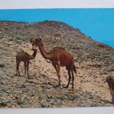 Cartes Postales: SAHARA ESPAÑOL -CAMELLOS PASTANDO - LAXC - P58088. Lote 278413218