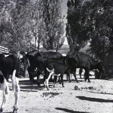 Postales: NEGATIVO ESPAÑA CÁCERES PLASENCIA FERIA GANADO 1970 KODAK 55MM GRAN FORMATO NEGATIVE SPAIN PHOTO. Lote 199806612
