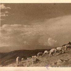 Postales: ANTIGUA POSTAL LA MOLINA UN REBAÑO EN LAS PISTAS DE FONT CANALETA CIRCULADA 1950. Lote 15086381