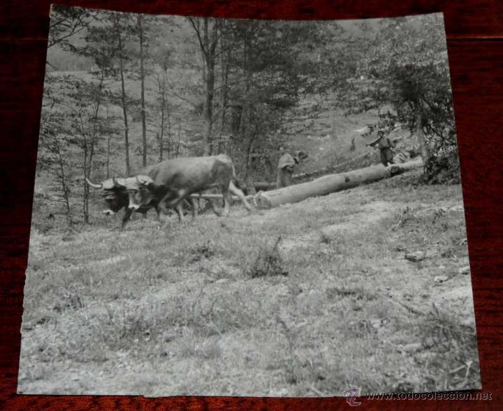 FOTOGRAFIA ANTIGUA DE CORTE DE ARBOLES EN EL BOSQUE DE IRATI (NAVARRA) )), MIDE 16,5 X 16,5 CMS. FOT (Postales - España - Navarra Antigua (hasta 1.939))