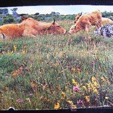 Postales: POSTALE EDITION NOVE - MILLAU COULEURS NOVACHOME. VACHE ET SON VEAU RACE D´AUBRAC. Nº 653. Lote 32024444
