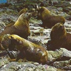 +-+ PW1276 - POSTAL - FUR SEALS AT SEALS ROCKS NEAR THE NOBBLES, PHILLIP ISLAND