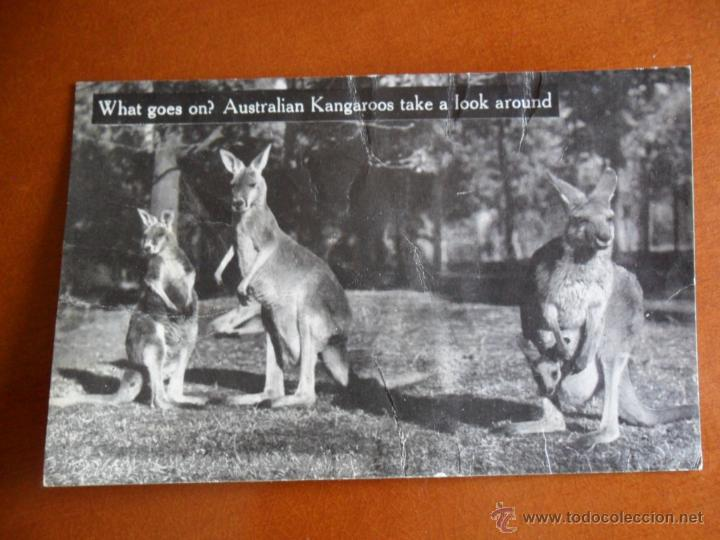 Postales: BONITA POSTAL DE AUSTRALIA TEMPERLEY INDUSTRIES 35 SPENCER HILL - CANGUROS - Foto 2 - 50505753