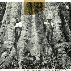 Postales: RARE A BIG TREE MOUNT HORSFAL AUSTRALIA OCEANIA. Lote 184514455