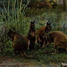 Postales: KANGAROOS AT HOME AUSTRALIA OCEANIA. Lote 184514646