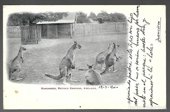 POSTAL ESCRITA DE 1904, KANGUROS. KANGAROOS, BOTANIC GARDENS, ADELAIDE. (Postales - Postales Extranjero - Oceanía)