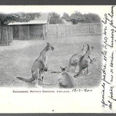 Postales: POSTAL ESCRITA DE 1904, KANGUROS. KANGAROOS, BOTANIC GARDENS, ADELAIDE.. Lote 206504476