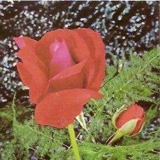 Postales: POSTAL A COLOR S 302 B ESCRITA 1978 TEMA FLORES. Lote 37185416