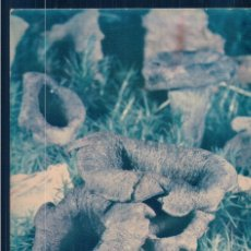 Postales: POSTAL SETA - CRATERELLUS CORNUCOPIODES - CHAMPIGNON . DU CLUB. Lote 179097468