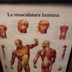Coleccionismo de carteles: PÓSTER MUSCULATURA HUMANA. Lote 222698375