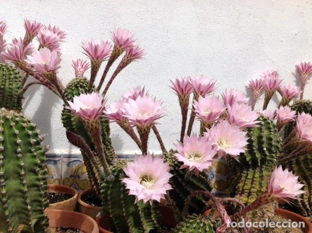 Cactus Y Crasas Oferta Comprar Art Culos De Segunda
