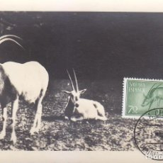 Sellos: SAHARA DIA DEL SELLO 1955 ORYS DEL SAHARA FAUNA (EDIFIL 125) EN BONITA Y RARA TARJETA MAXIMA.. Lote 135297254