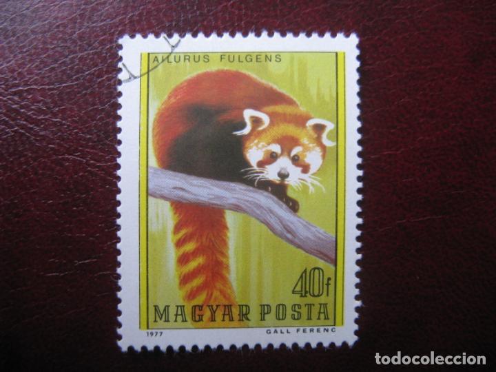 +HUNGRIA, 1977, PANDA ENANO, YVERT 2587 (Sellos - Temáticas - Fauna)
