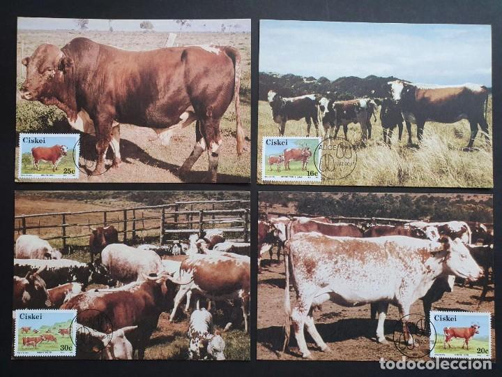 4 TARJETAS MÁXIMA CISKEI 1987: NKONE RAZA DE GANADO - COW (VACA) - BULL (TORO) (Sellos - Extranjero - Tarjetas Máximas)