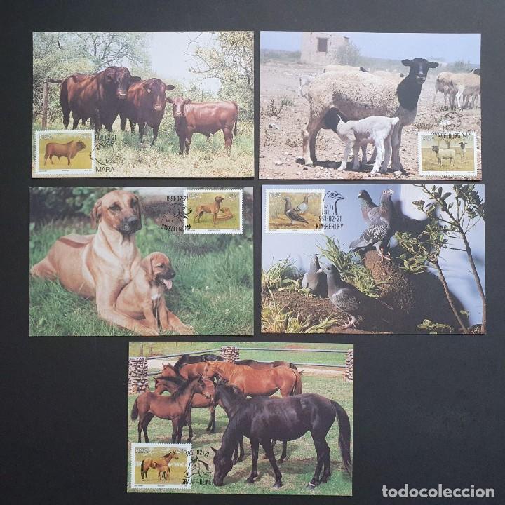 5 TARJETAS MÁXIMA SUDAFRICA 1991: FAUNA - GANADO, OVEJA, PERRO, PALOMA, CABALLO (Sellos - Extranjero - Tarjetas Máximas)