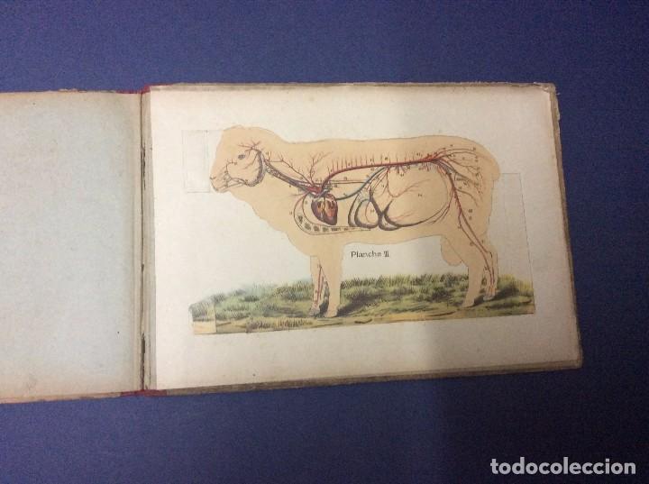 las ovejas y la cabra anatomía - fisiología - r - Comprar en ...