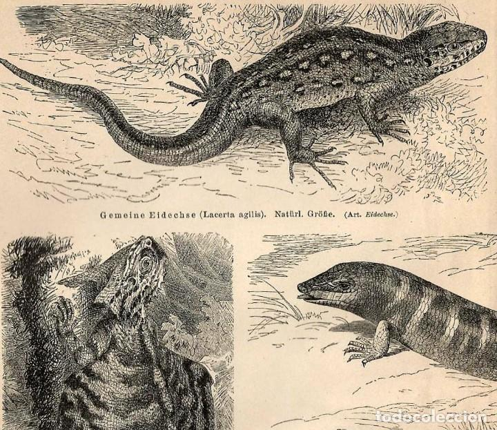 lagartos reptiles lución basilisco draco volans - Comprar Grabados ...
