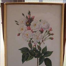 Varios objetos de Arte: ANTIGUA LÁMINA FLORAL. ROSA NOISETTIANA. . Lote 37190187