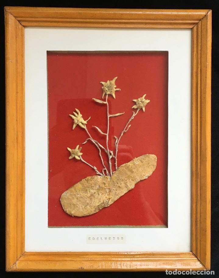 cuadro con cuatro flores edelweiss secas (flor - Comprar en ...