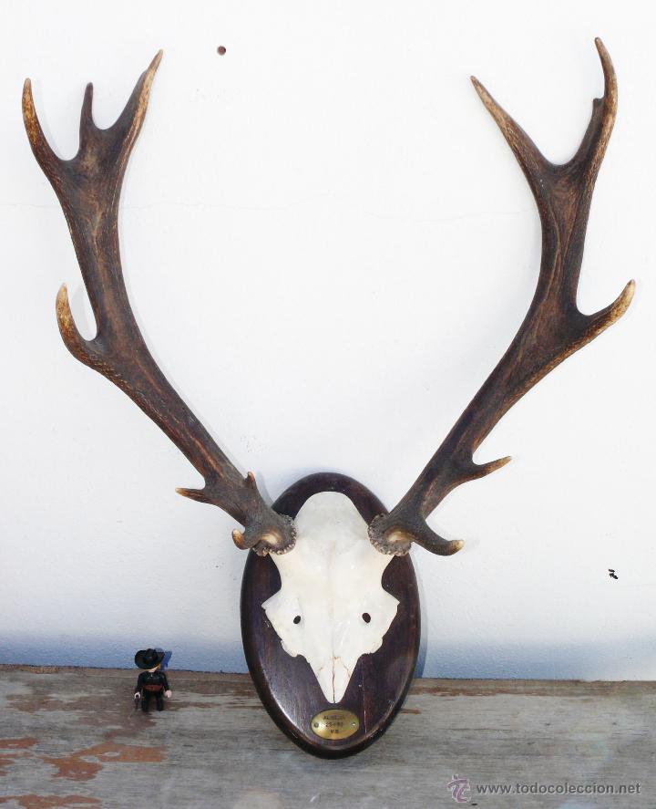 Gran cabeza ciervo arce benado o similar cuerno comprar - Cabezas de animales decoracion ...