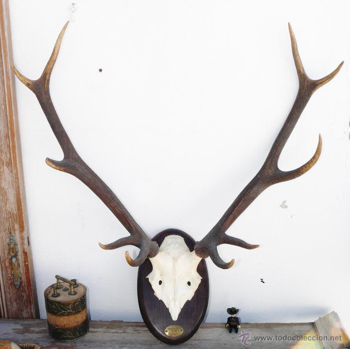 Gran cabeza ciervo arce benado o similar cuerno comprar en todocoleccion 40163383 - Cabeza de ciervo decoracion ...