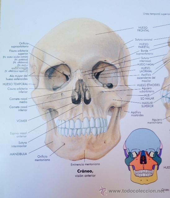 lamina vintage de anatomia craneo humano - Comprar en todocoleccion ...