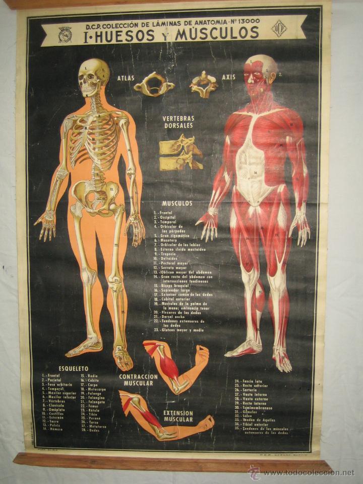mapa de escuela..laminas anatomia..huesos y mus - Comprar en ...