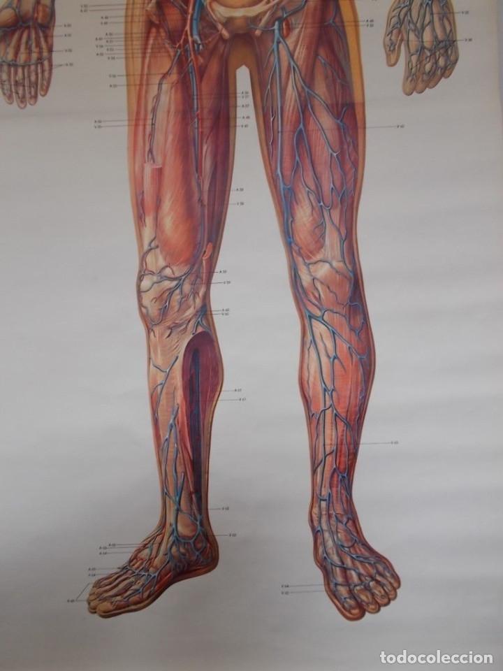 enorme cartel anatomía vintage años 40 50. de e - Comprar en ...