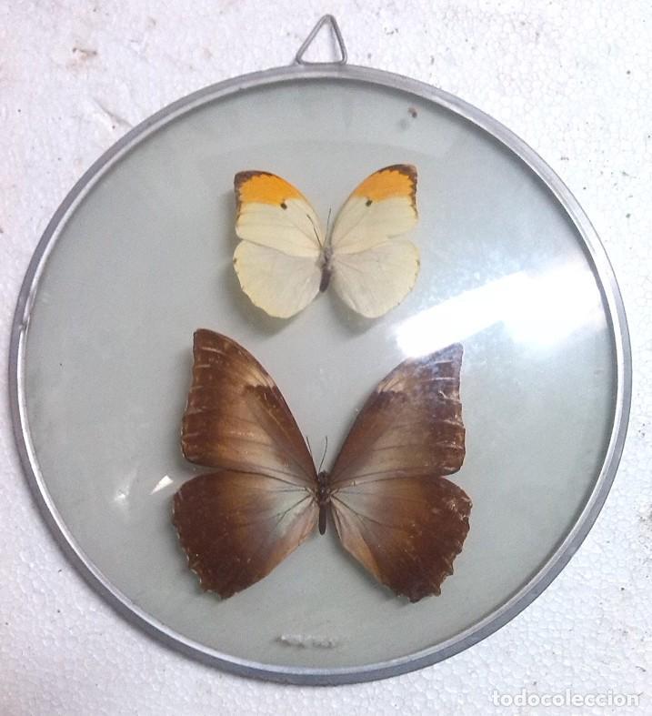 marco con cristal conteniendo 2 mariposas. - Comprar en ...